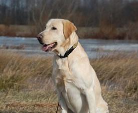 Akc Labrador Retrievers For Hunting Maryland Md Labrador